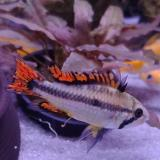 Apistogramma cacatouides triple red