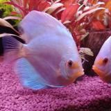 discus diamond blue