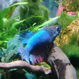 Betta splendens crowntail (vrouw)