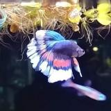 betta splendens half moon (man)