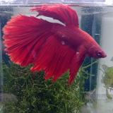 betta splendens (man) superdelta