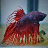 betta splendens (man) crowntail