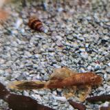 Lda 16 ancistrus species sluier