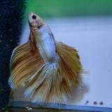 betta splendens (man) halfmoon Gold