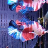betta splendens (man) HMPK koi