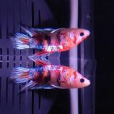 Betta splendens (man) HMPK Galaxy