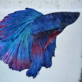 betta splendens (man) halfmoon