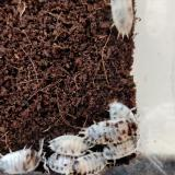 Porcellio species
