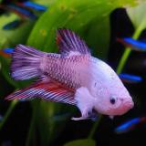 betta splendens (man) plakat dragon