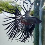 betta crowntail black orchid (man)
