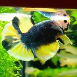 betta splendens (man) HMPK Piedbald metallic