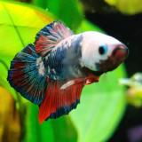 betta splendens (man) HMPK Marble metalic