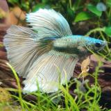 Betta splendens (man) halfmoon copper