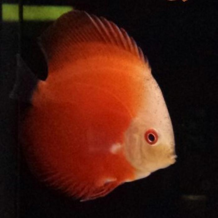 discus melon red