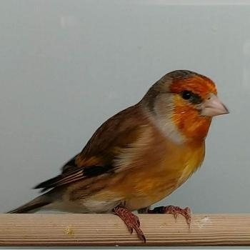 Carduelis card. major x serinus canaria
